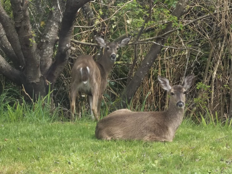 deer and home in spring 011