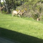 deer and home in spring 016
