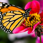 monarch-and-flower_33896